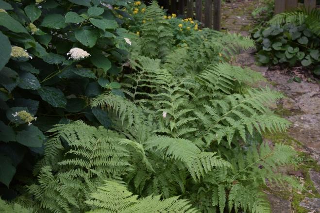 DSC_0249 Lady ferns