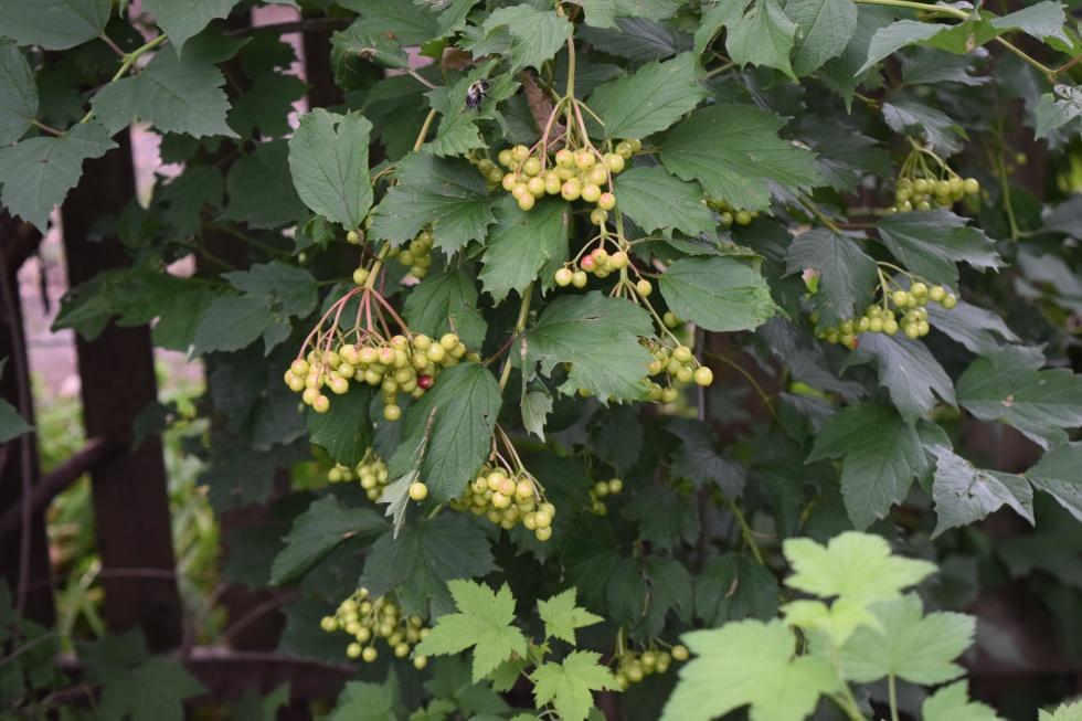 DSC_0276 Cranberrybush Viburnum