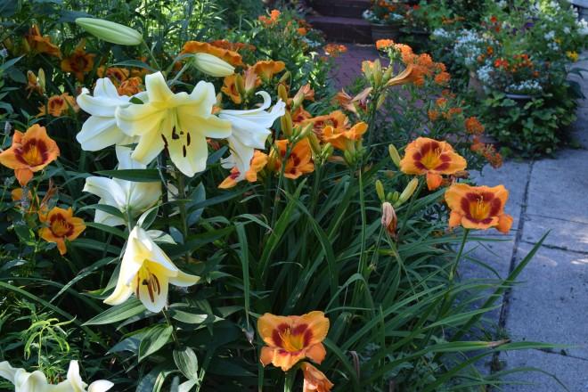 DSC_0300 orienpet lilies