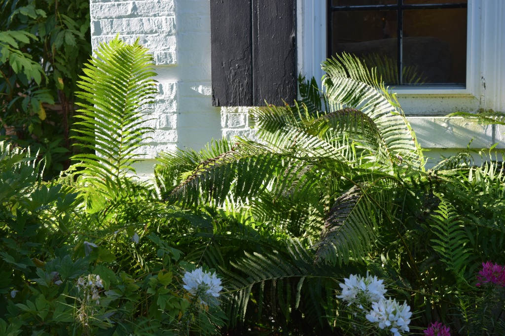 Ostrich Ferns
