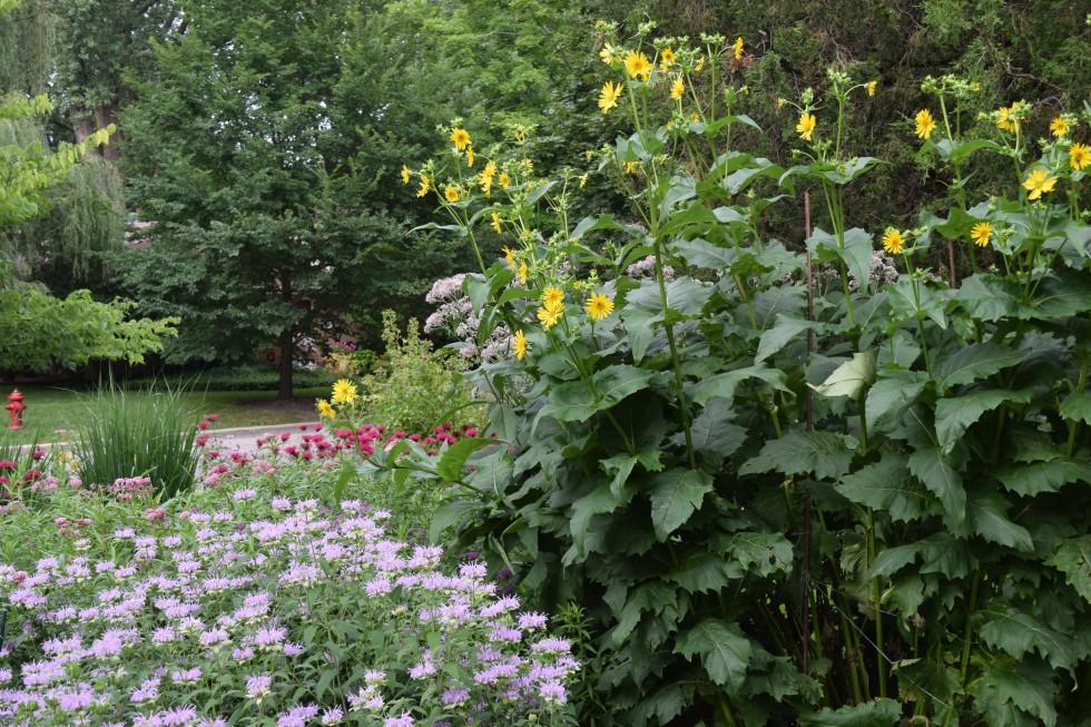 DSC_0460 cup plant and wild bergamot
