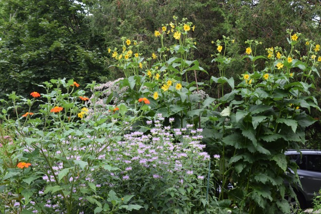 Here you can see the Mexican Sunflower growing tall among its perennial partners.