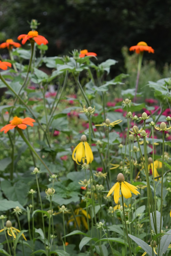 Yellow Coneflower with Mexican Sunflower