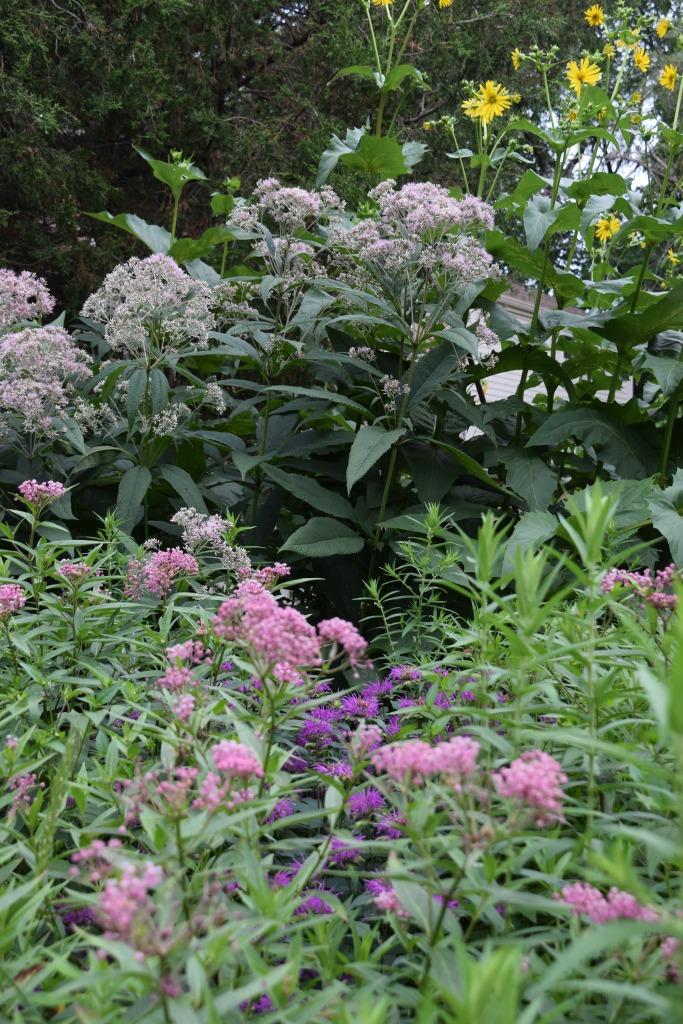 Joe Pye Weed, Swamp Milkweed, Monarda 'Purple Rooster'