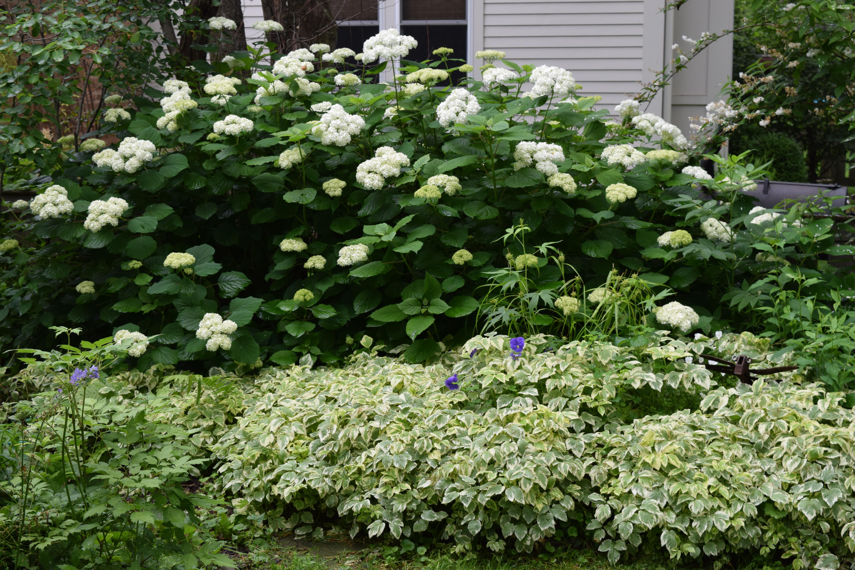 Favorite Smooth Hydrangea: It Grows On You – gardeninacity VD84