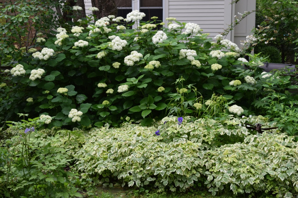 Smooth Hydrangea, underplanted with Bishop's Weed