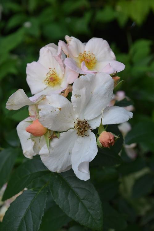 DSC_0599 sally holmes rose