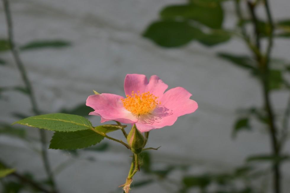 DSC_0615 Prairie Rose