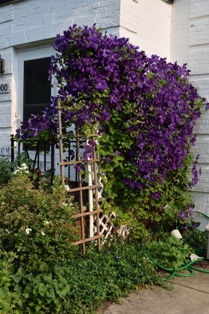 My Clematis What I Call A Quality Problem Gardeninacity