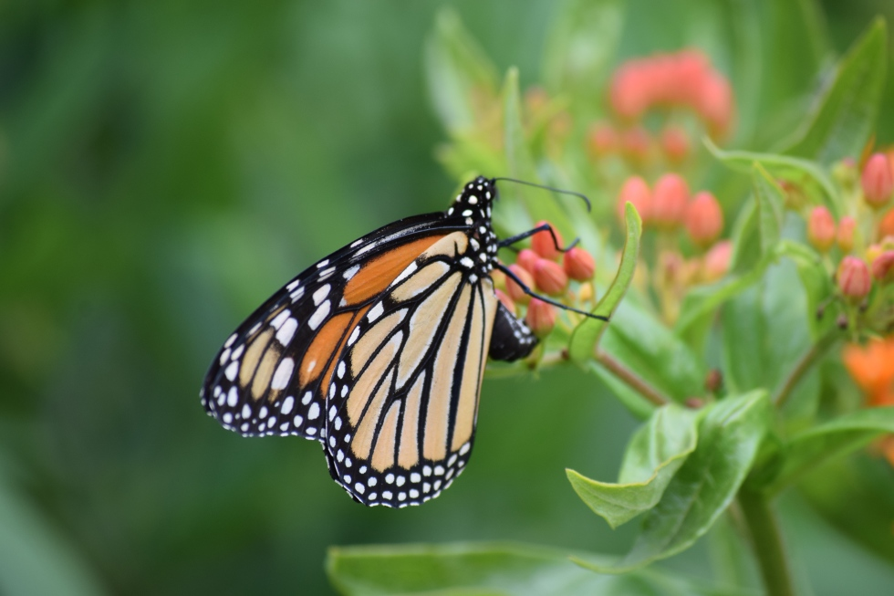 Monarch on Butterflyweed.