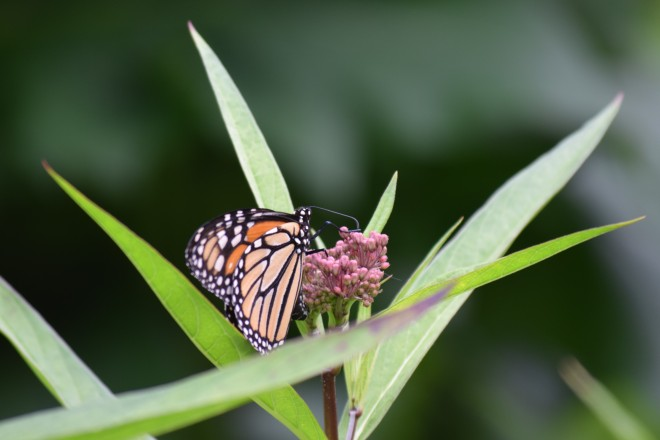 Monarch on Swamp Milkweed.