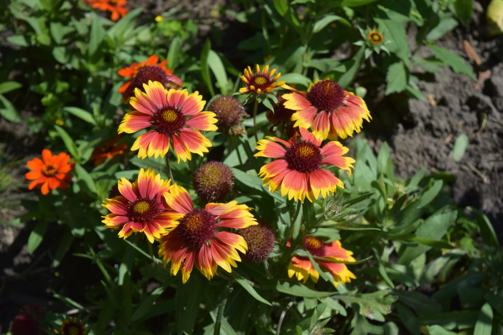 DSC_0763 blanket flower gaillardia
