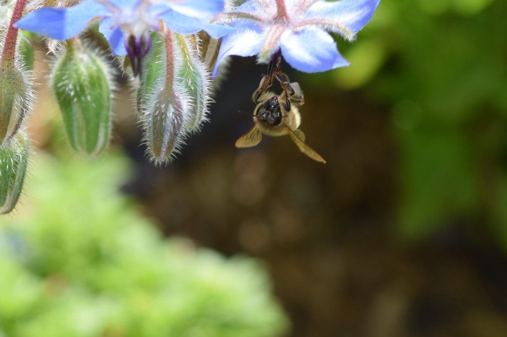 DSC_0785 borage and bee