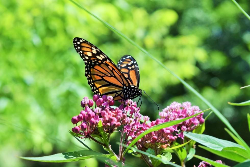 DSC_0821 monarch on swamp milkweed