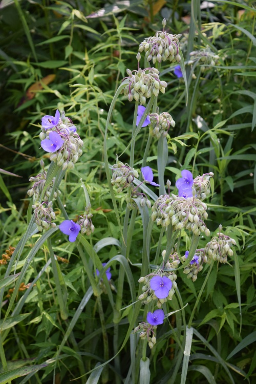 DSC_0833  spiderwort