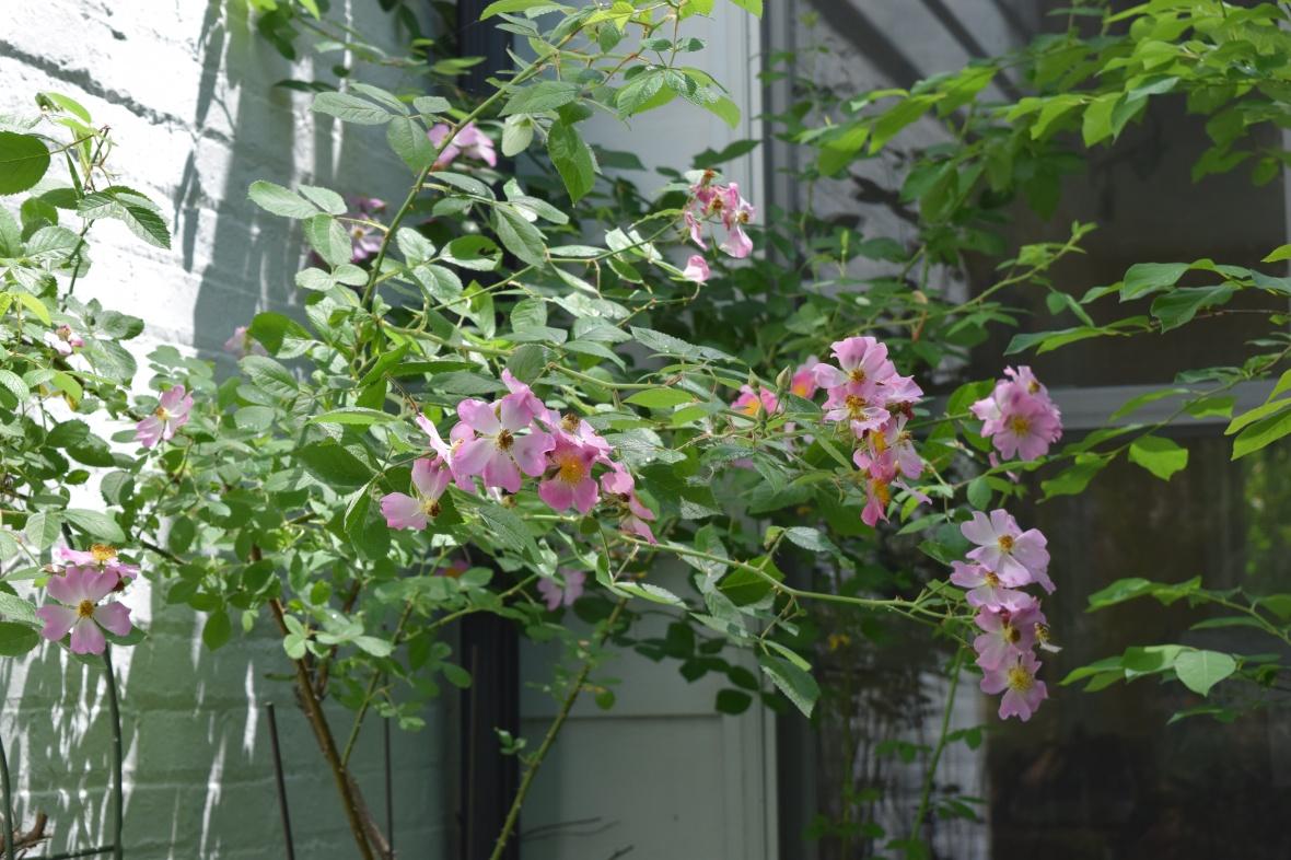 DSC_0850 prairie rose