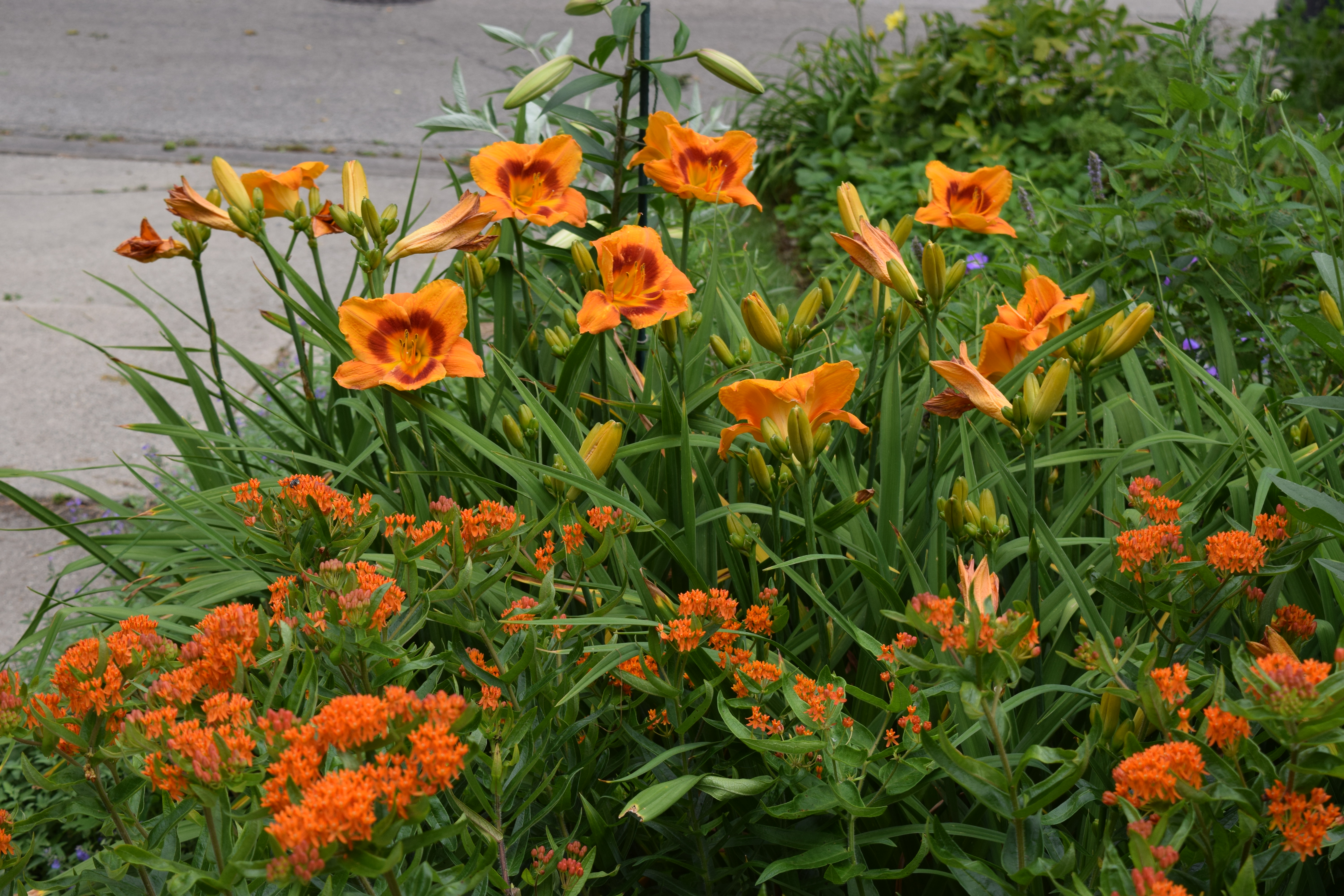 dsc_0960 butterflyweed and daylily