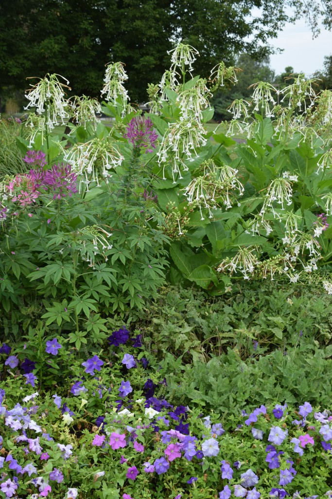 Lots of Nicotiana 'Woodland' and Cleome in the mixed beds.