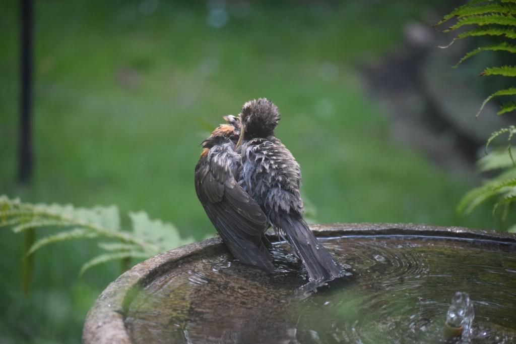 2015-08-15 13.30.33 robin