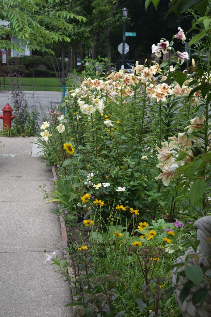 A border full of lilies, seen from the front of the house.