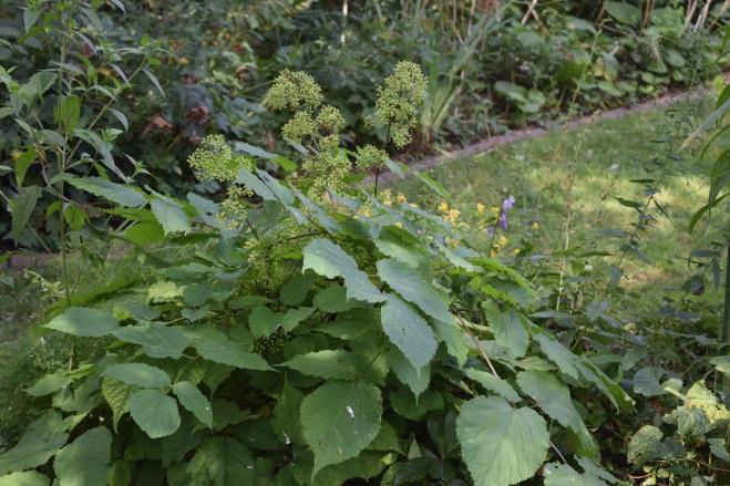 American Spikenard, with unripe berries.