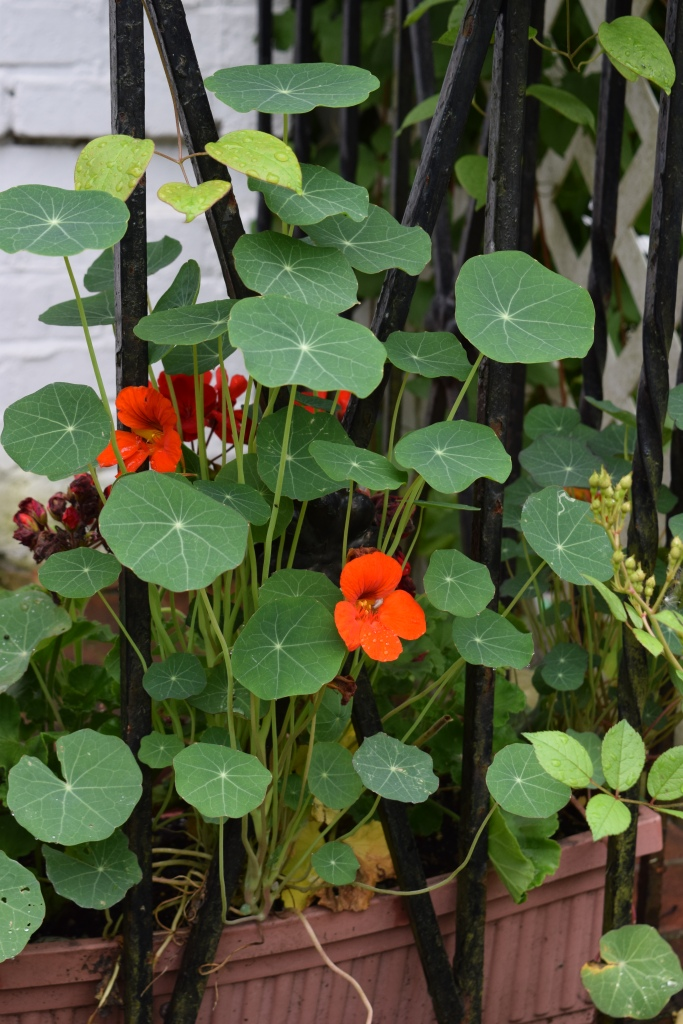 These Nasturtiums chose to climb rather than spill.