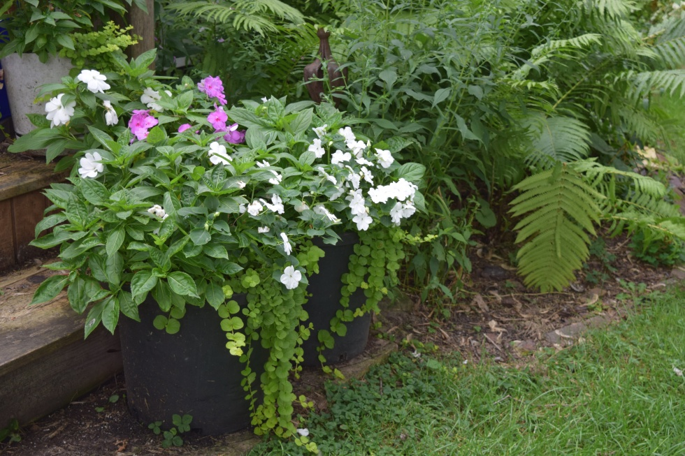 The flowers here are almost all from regular impatiens, the New Guinea Impatiens are not contributing much beyond foliage.