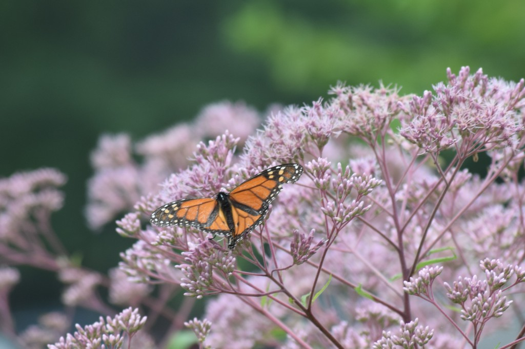 Monarch Butterflyweed on 'Gateway' Joe Pye Weed.