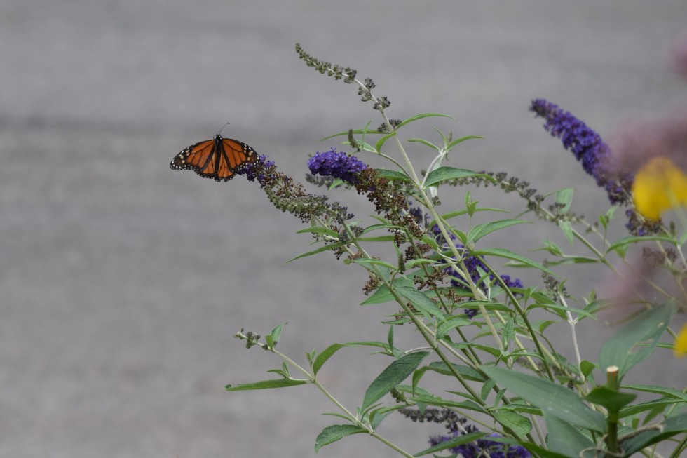 'Blue Adonis' Butterfly Bush grows to only 3-4'.