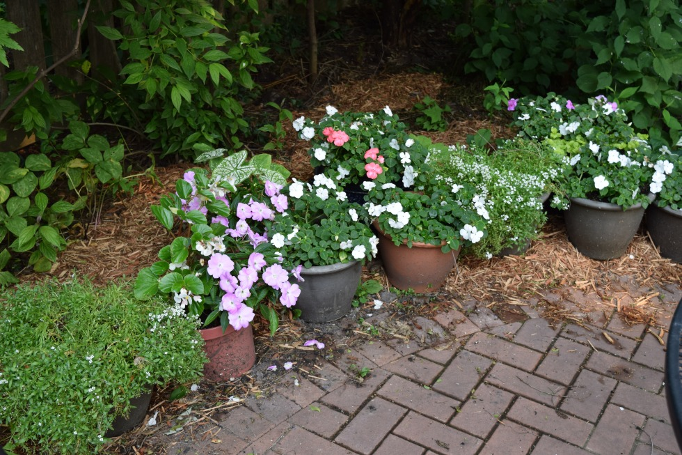 I spread mulch and lined up containers along the edge where our new circle patio is bordered by mainly spring ephemerals.