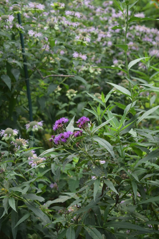 DSC_0631 ironweed