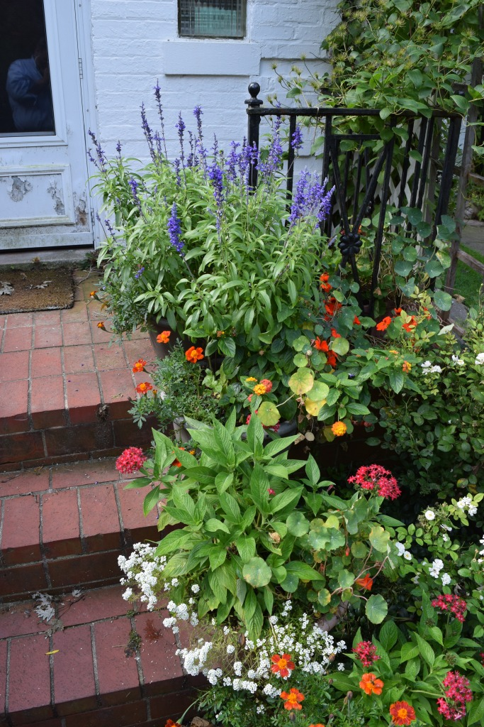 Containers on the steps to the front door, with Salvia 'Evolution' at the top.
