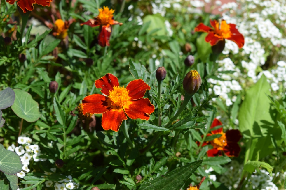 Marigold 'Disco Red'