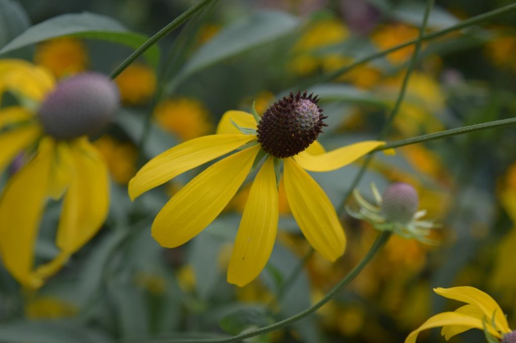 DSC_0912 yellow coneflower