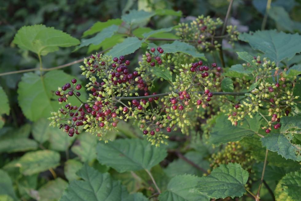 American Spikenard berries