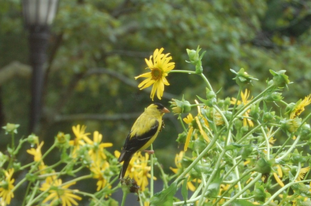Goldfinch feeding on Cup Plant