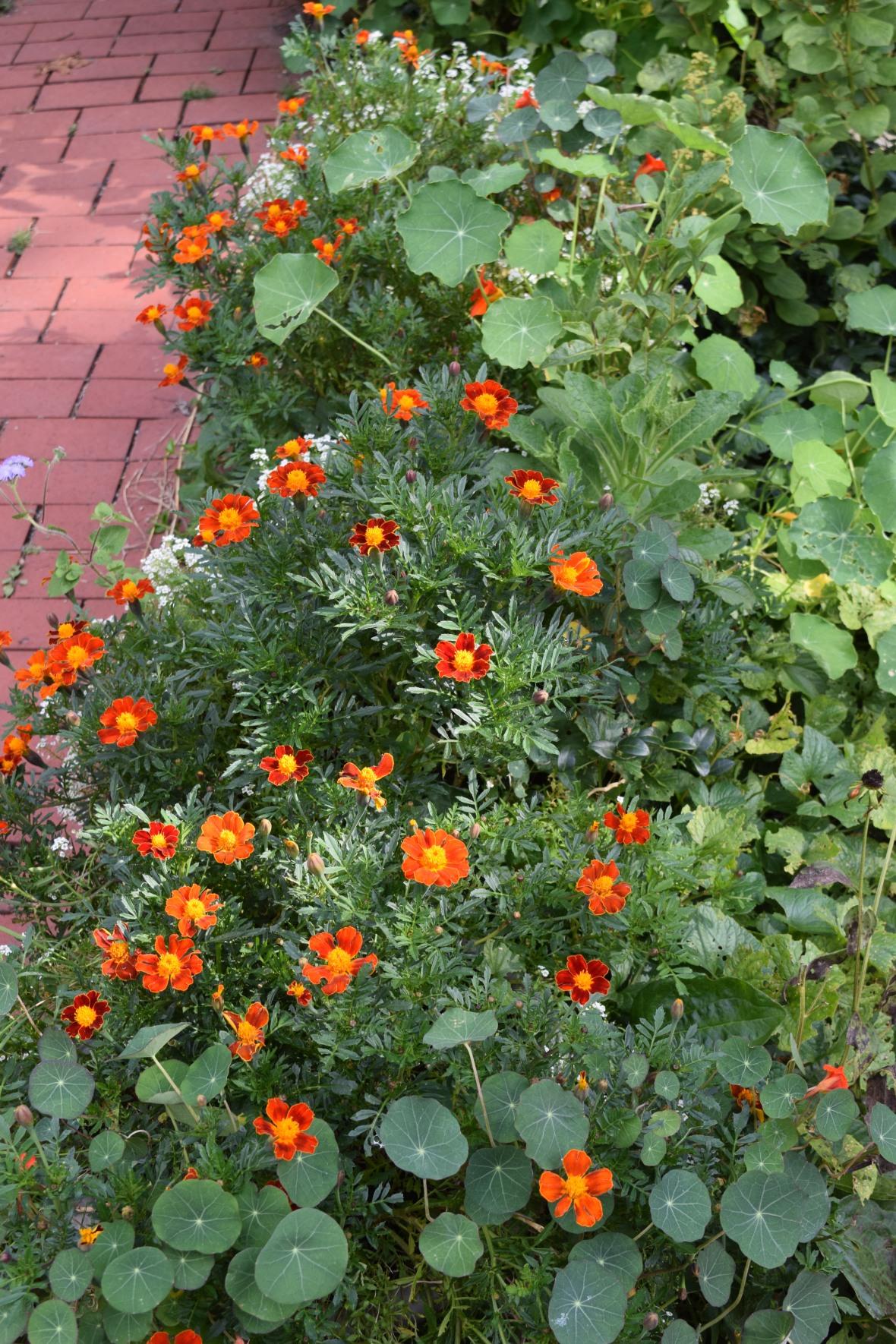 DSC_0470 marigolds