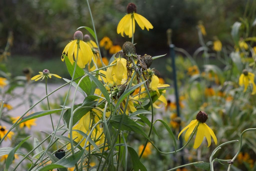 DSC_0504 yellow coneflower