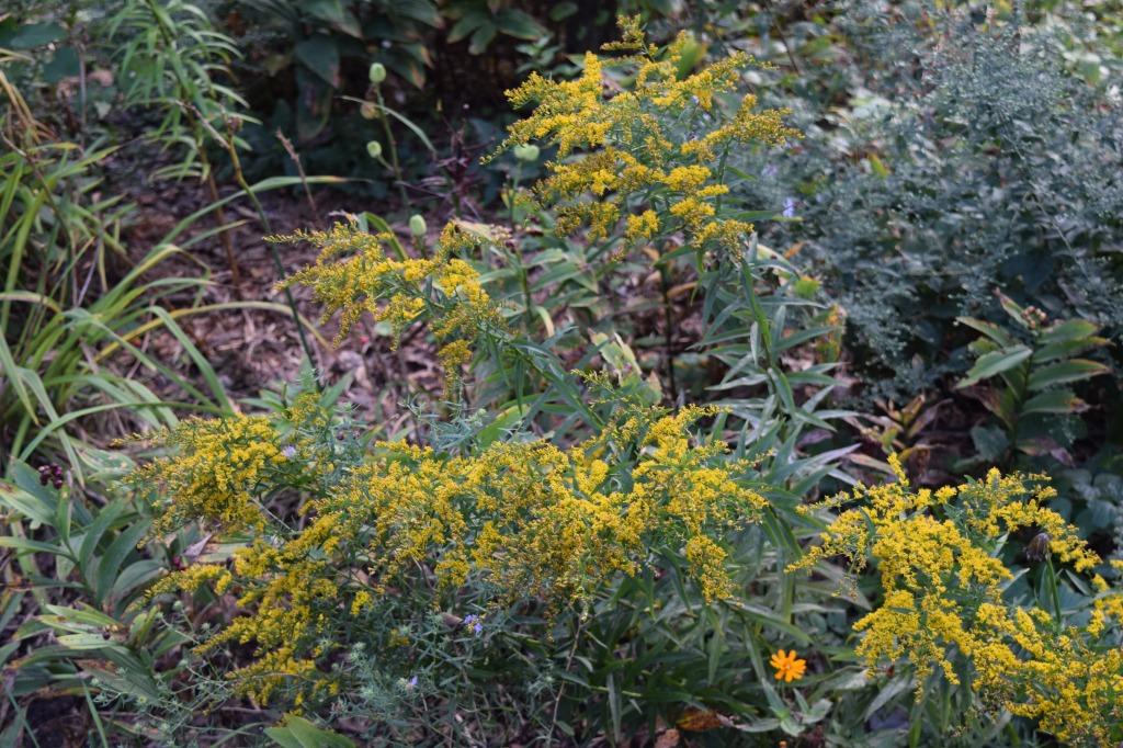 Anise Scented Goldenrod