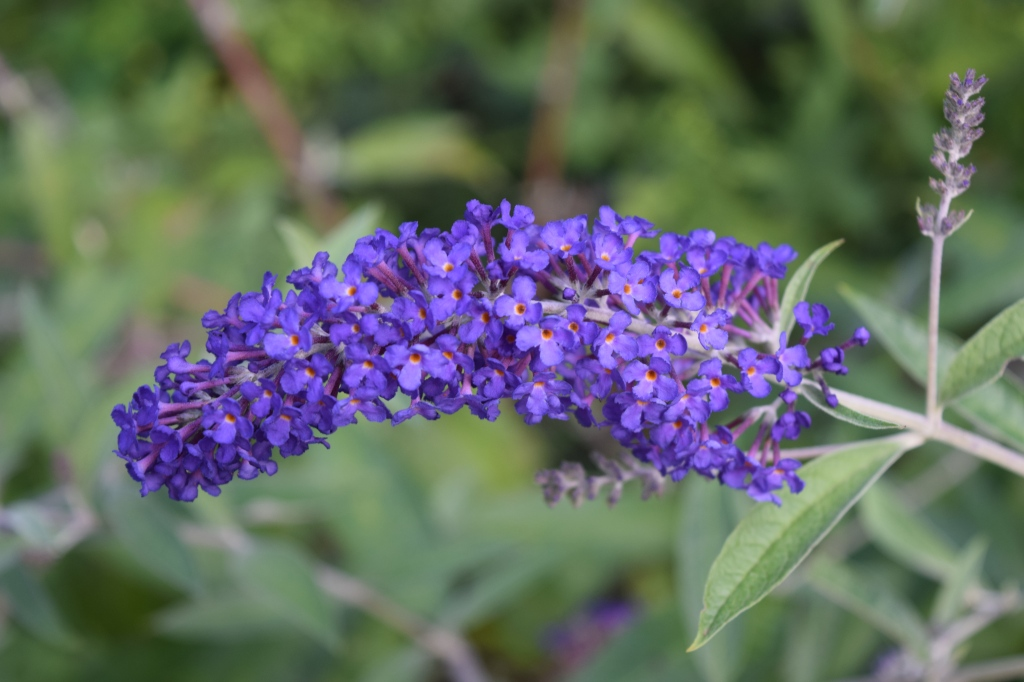 DSC_0520 blue adonis butterfly bush