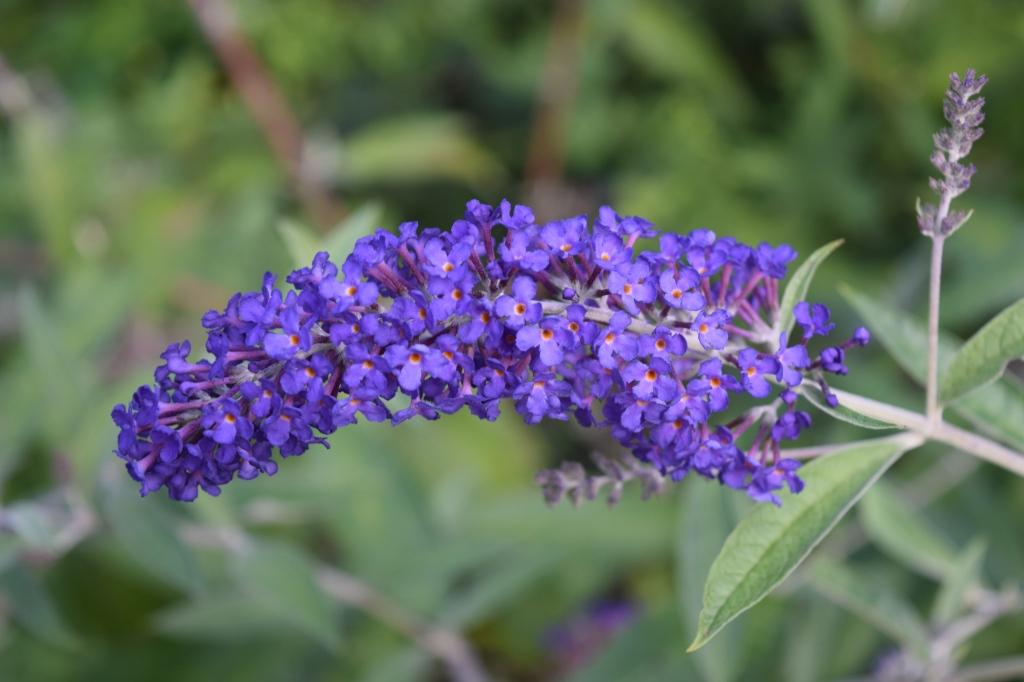DSC_0520 blue adonis butterfly bush