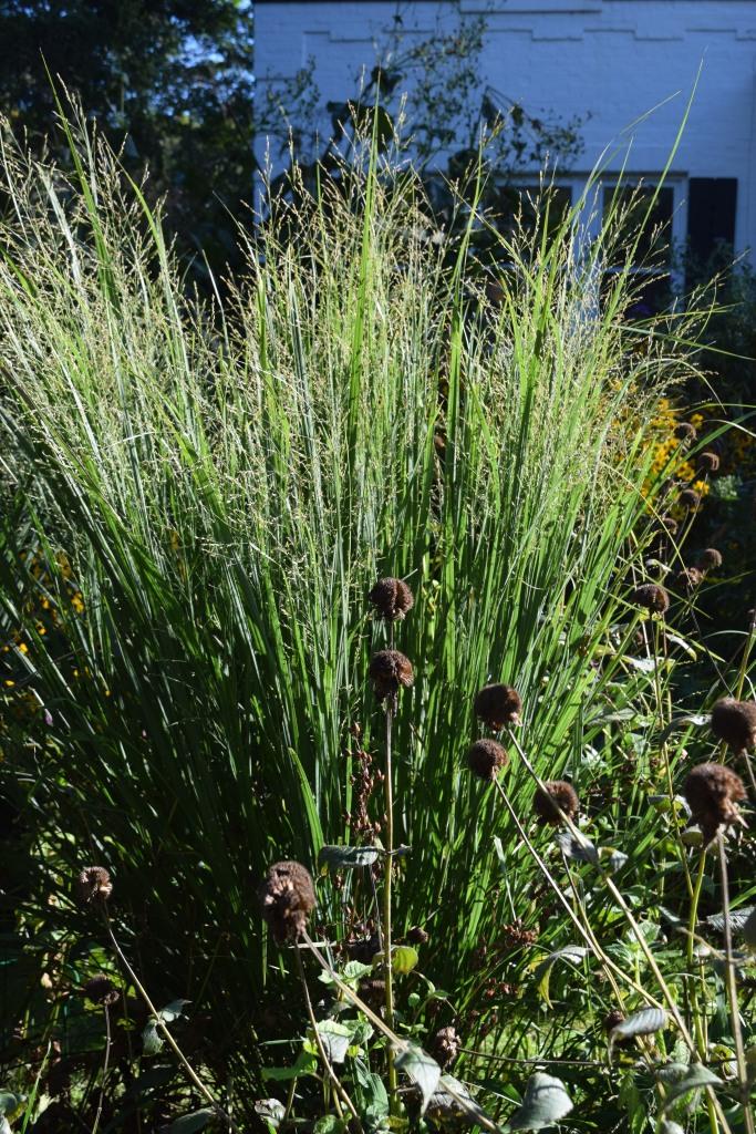 DSC_0615 switchgrass