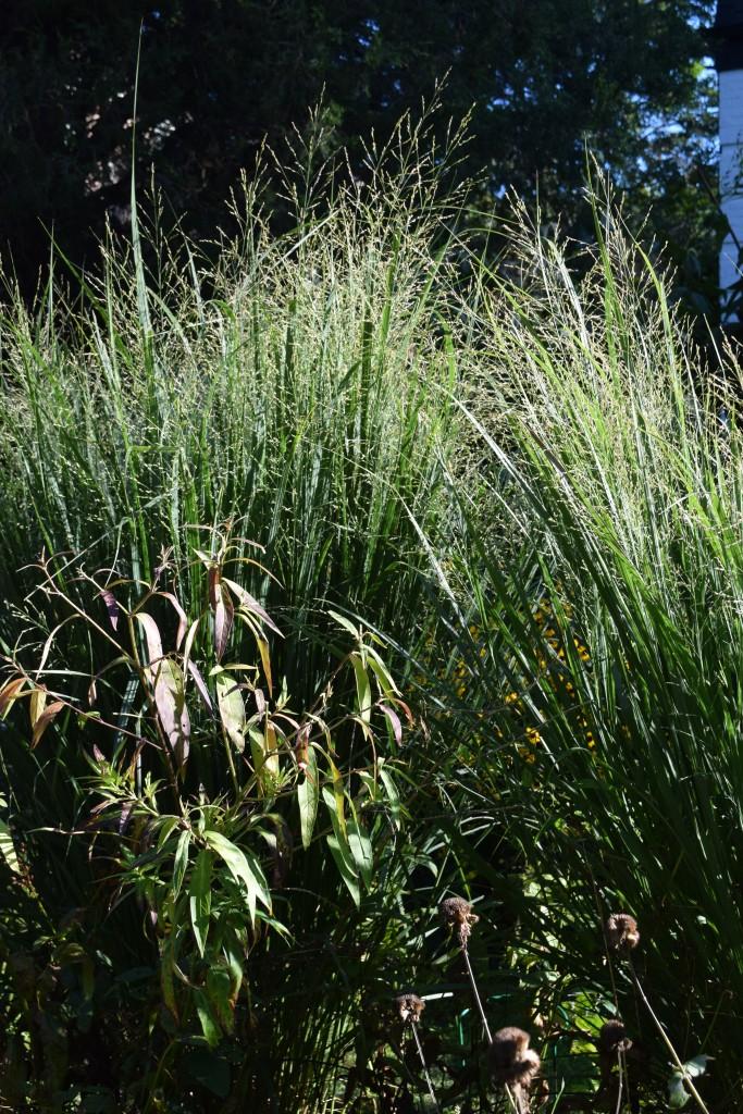 DSC_0616 switchgrass