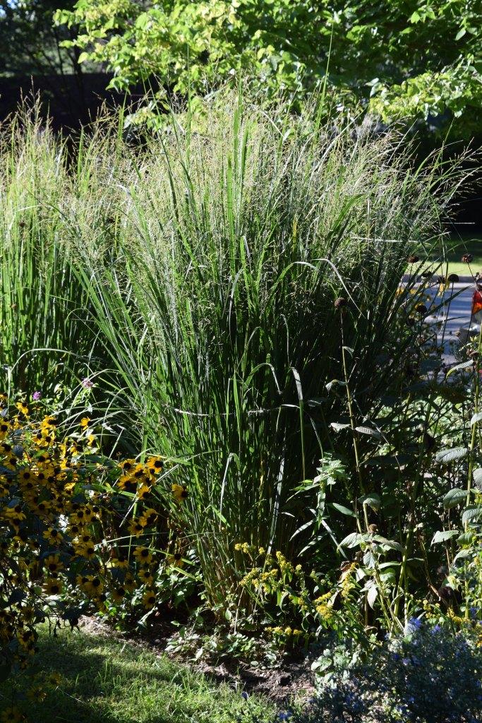 DSC_0654 switchgrass