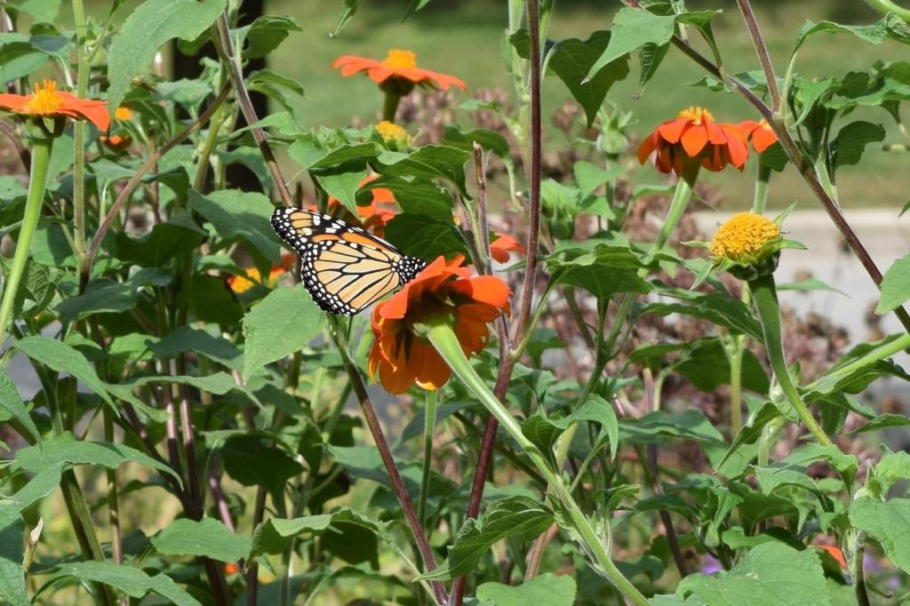 DSC_0679 Monarch
