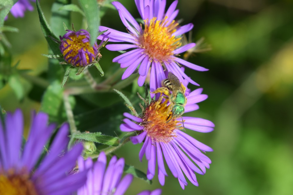 DSC_0711 sweat bee aster