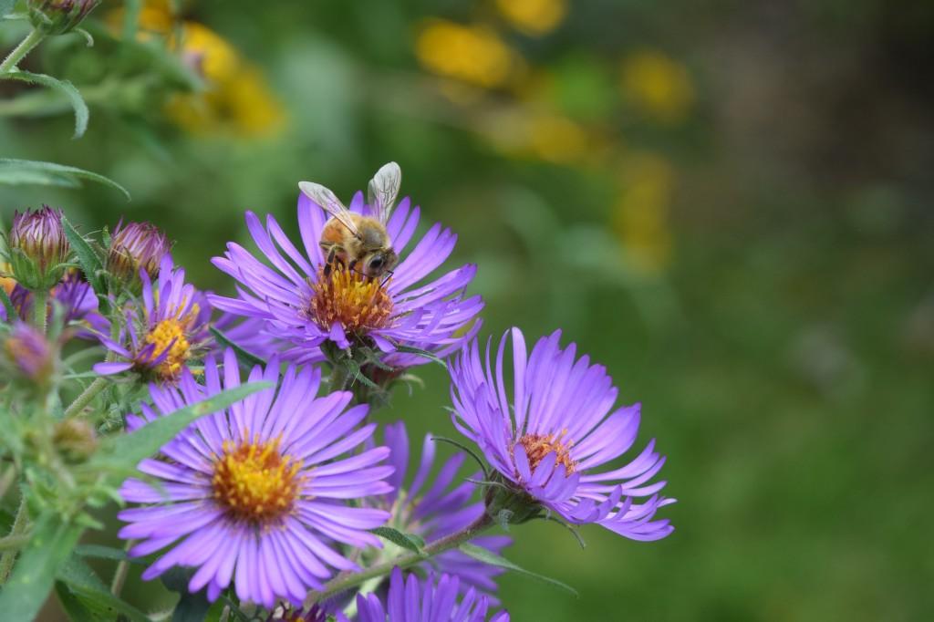 DSC_0718 bee aster