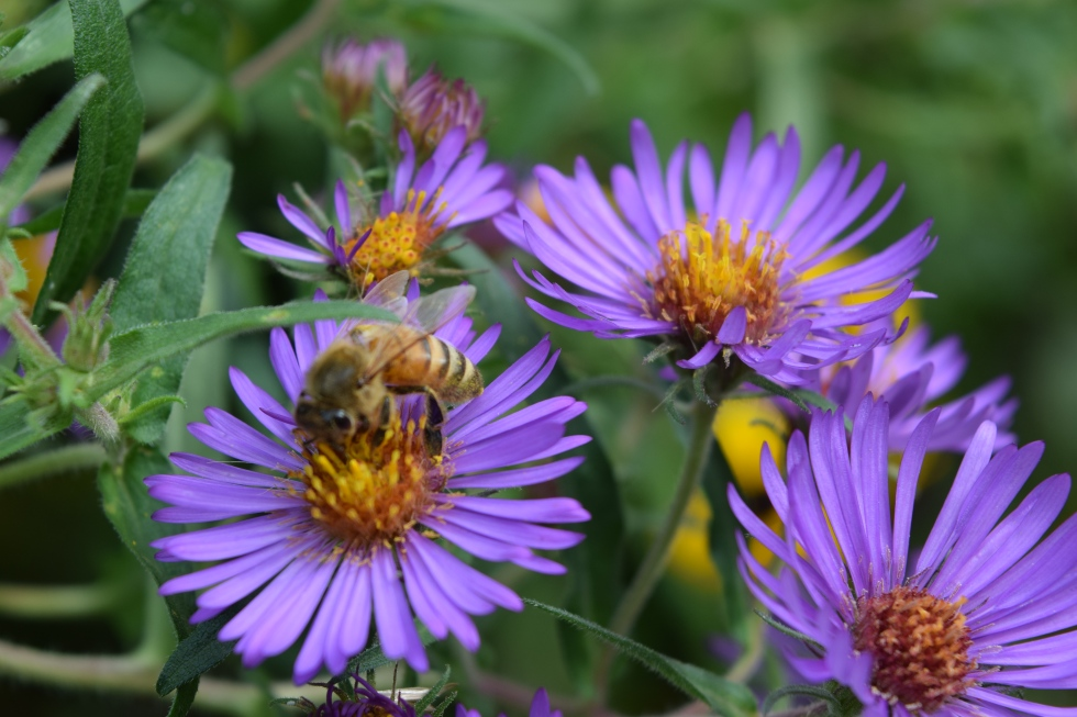 DSC_0719 honeybee new enagland aster