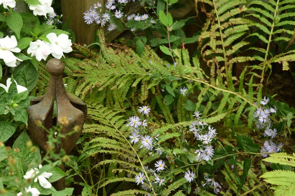 DSC_0759 shorts aster ferns