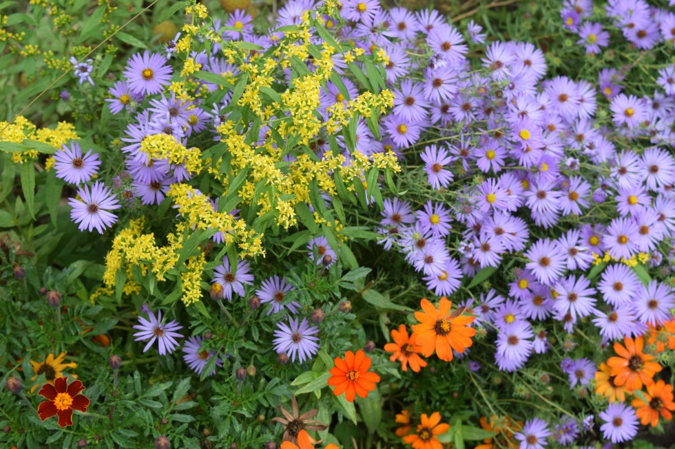 Aromatic Aster with Bluestem Goldenrod and 'Profusion Orange' Zinnias.